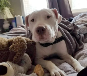 Bria is a Staffy mix dog available for adoption near Denver, CO