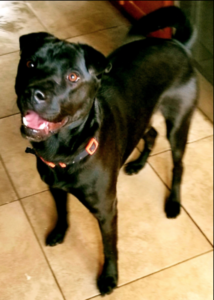 Caleb is a black sharpei mix available for adoption in Denver, Colorado