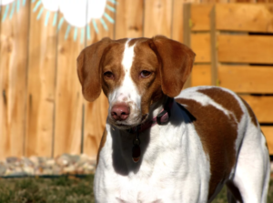 Roo and Boo are Lemon Walker hound mixes available for adoption in Denver, Colorado